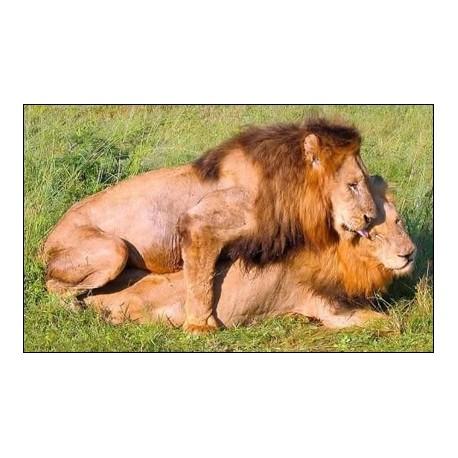 Homosexualités animales