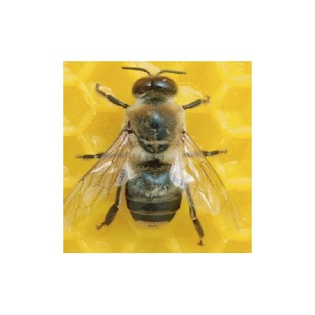 Mini-cerveau et méga-performances : ce que nous apprend le cerveau d'une abeille