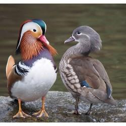 Les femelles sont-elles responsables de l'évolution des caractéristiques chez les mâles ?