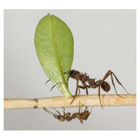 Longtemps avant les Hommes, les fourmis inventaient l'agriculture et ... la médecine