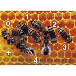 Les abeilles, bonnes en math ?
